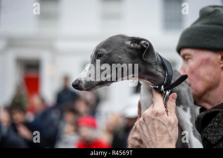 London, UK.  25 November 2018. Alfa, a whippet, takes part in the Primrose Hill dog show during the Primrose Hill Christmas Fair.  The fun show raises money for local charities - Chalk Farm Food Bank and St Mary's Church Winter Appeal.   Credit: Stephen Chung / Alamy Live News - Stock Photo