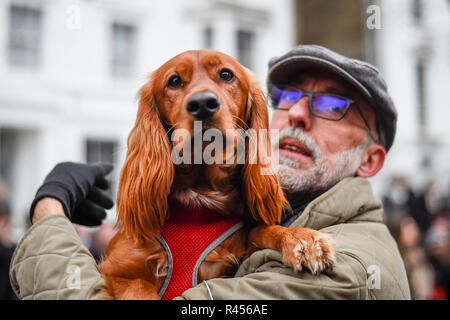 London, UK.  25 November 2018. Oscar, a cockerpoo, takes part in the Primrose Hill dog show during the Primrose Hill Christmas Fair.  The fun show raises money for local charities - Chalk Farm Food Bank and St Mary's Church Winter Appeal.   Credit: Stephen Chung / Alamy Live News - Stock Photo