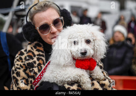 London, UK.  25 November 2018. Percy, a bichon, takes part in the Primrose Hill dog show during the Primrose Hill Christmas Fair.  The fun show raises money for local charities - Chalk Farm Food Bank and St Mary's Church Winter Appeal.   Credit: Stephen Chung / Alamy Live News - Stock Photo