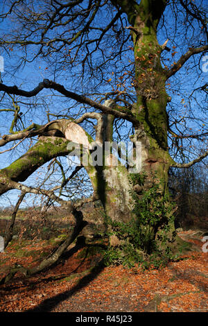 Beech tree (Fagus Sylvatica) in copper, autumn colours damaged in a storm with broken branch and surrounded by fallen leaves. - Stock Photo