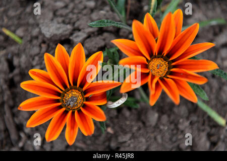 Close up view of two bright orange and yellow flowers with a blurred background, in Colombia, South America. - Stock Photo