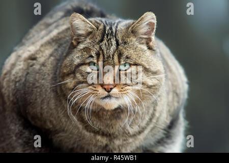 Portrait European Wild Cat (Felis silvestris) - Stock Photo