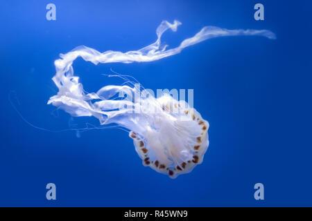 Atlantic sea nettle jellyfish, Chrysaora quinquecirrha, swims by undulating
