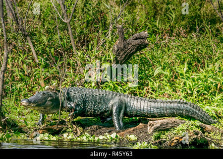 Large Alligator in the wetlands approaching the water.