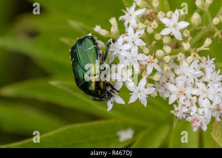 Closeup of a green metallic beetle (European Rose Chafer, Cetonia aurata) crawling on small white flower blossoms - Stock Photo