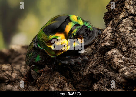 Sulcophanaeus Imperator - dung beetle - Stock Photo