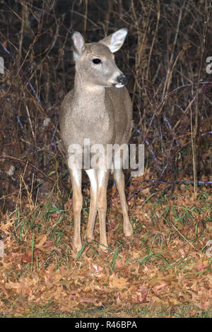 The young white-tailed deer (Odocoileus virginianus) feeding in a forest at rainy autumn day - Stock Photo