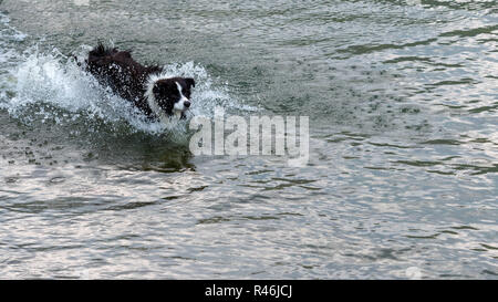 The Australian Shepherd dog plays and floats in the lake. - Stock Photo
