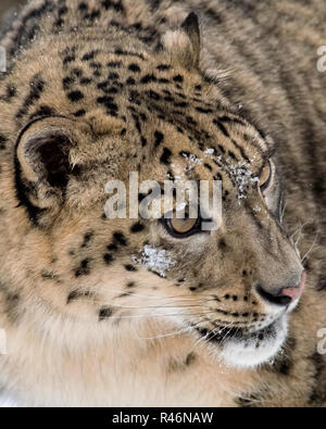Snow Leopard Extreme Closeup - Stock Photo