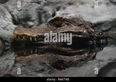 Close up profile portrait of Cuvier dwarf caiman crocodile hiding in water ambush and looking at camera, low angle view - Stock Photo