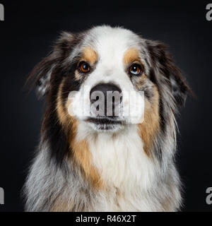 Head shot of beautiful adult Australian Shephard dog looking majestic straight at camera with brown with blue spotted eyes. Mouth closed. Isolated on - Stock Photo