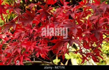 Beautiful Autumn leaves on a  Japanese Acer palmatum - Stock Photo
