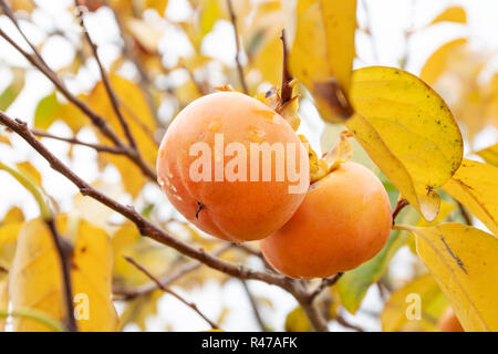Kaki tree with kaki fruits ready to be harvested. Persimmon tree and fruits in autumn. Diospyros kaki - Stock Photo
