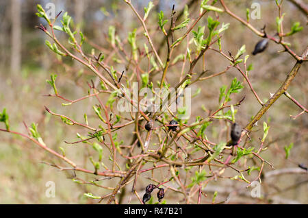 Rose hip bush with old and new parts. - Stock Photo