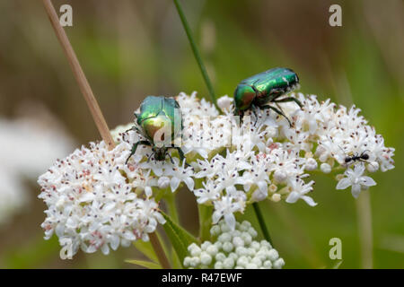 Closeup of two green metallic beetles (European Rose Chafer, Cetonia aurata) crawling on small white flower blossoms - Stock Photo