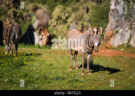 the grevy's zebra (equus grevyi),sometimes known as the imperial zebra,is the largest species of zebra. it is found in the masai mara reserve in kenya africa - Stock Photo