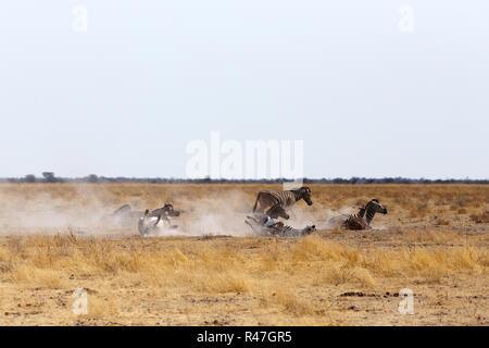 Zebra rolling on dusty white sand Stock Photo