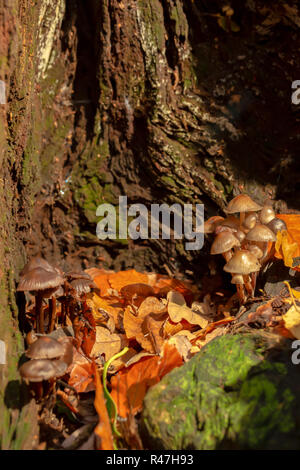 Close-up colour photograph of two clump of Oak-stump mushrooms within old tree stump in portrait orientation. - Stock Photo