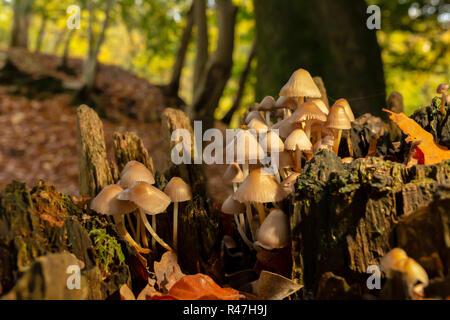 Close-up colour photograph of a clump of Oak-stump mushrooms within old tree stump in landscape orientation. - Stock Photo