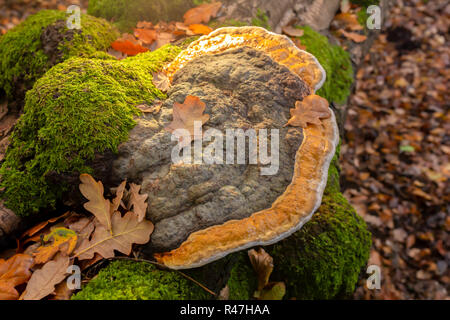 Landscape colour photograph of large Birch polypore bracket on fallen tree from top illuminted from top. - Stock Photo