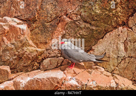 An Inca Tern on a Rocky Island - Stock Photo