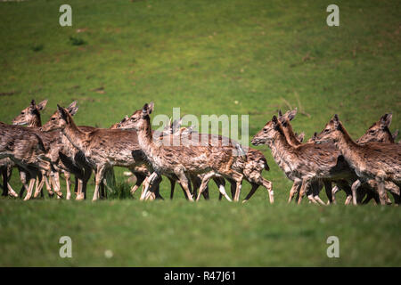 a summertime view of a herd of fallow deers (dama dama) on the green meadow. these mammals belong to the family cervidae - Stock Photo