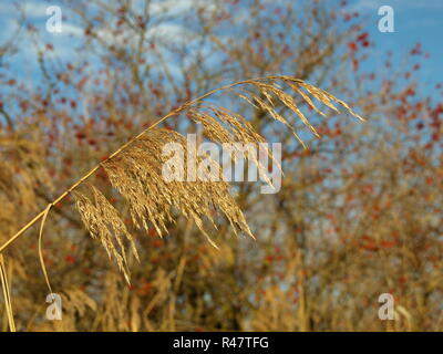 schilfrispe in sunlight against hawthorn fruits - Stock Photo