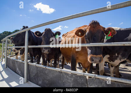 Sheffield, New Zealand - August 03 2018: Dairy cows are rounded up and herded into the dairy shed at milking time - Stock Photo