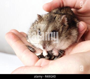 Djungarian hamster in the hands - Stock Photo