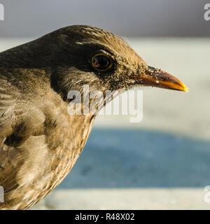 portrait of a blackbird