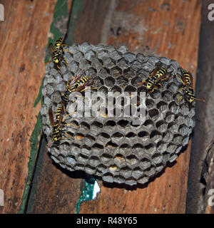 Wasp nest with wasps sitting on it. - Stock Photo
