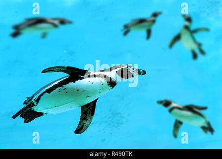 Humboldt penguins under water - Stock Photo