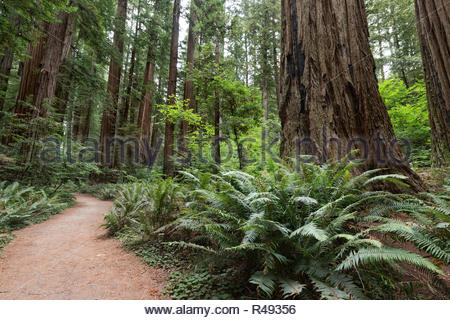 Giant Redwood Trees on Stout Grove Trail, Jedediah Smith Redwoods State Park, CA - Stock Photo