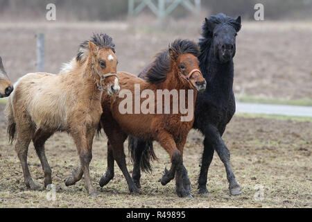icelandic horses galloping in the pasture - Stock Photo