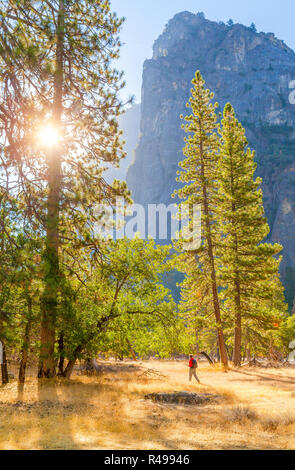 A male hiker is walking through a beautiful forest scenery among giant pine trees in  famous Yosemite Valley in scenic golden morning light at sunrise - Stock Photo