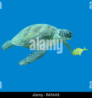 single great turtle in tropical sea , underwater - Stock Photo