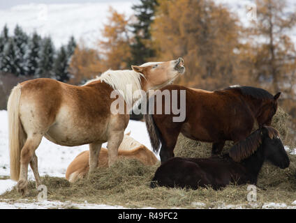 Horses on the winter meadow and Schlern (Sciliar) mountain peaks on background. Dolomite Alps, Seiser Alm (Alpe di Siusi), South Tyrol, Italy. - Stock Photo