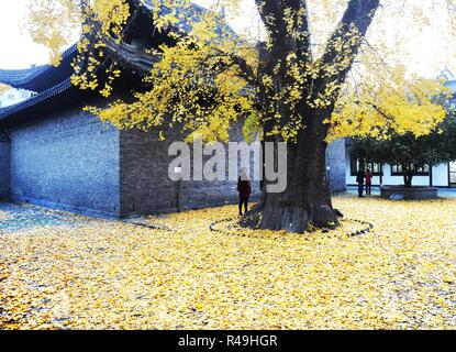 Yangzhou, China's Jiangsu Province. 25th Nov, 2018. A visitor stops under a ginkgo tree at the Shangfang Temple in Yangzhou City, east China's Jiangsu Province, Nov. 25, 2018. Credit: Pu Liangping/Xinhua/Alamy Live News - Stock Photo