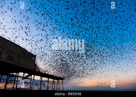 Aberystwyth Wales UK, 26th November, 2018. .  UK Weather: Huge flocks of tens  of thousands of  tiny starlings fill the  air as they fly in from their daily feeding grounds before roosting for the night , filling  every possible surface a on the forest  of cast iron legs underneath  Aberystwyth's Victorian seaside pier.  Aberystwyth is one of the few urban roosts in the country and draws people from all over the UK to witness the spectacular nightly displays.  photo credit Keith Morris  / Alamy Live News - Stock Photo