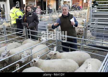 Winslow, UK - November 26, 2018. Sheep are held for presentation at the Winslow Primestock Show. The show is an annual event held in the historic market town in Buckinghamshire. Credit: Paul Maguire/Alamy Live News - Stock Photo