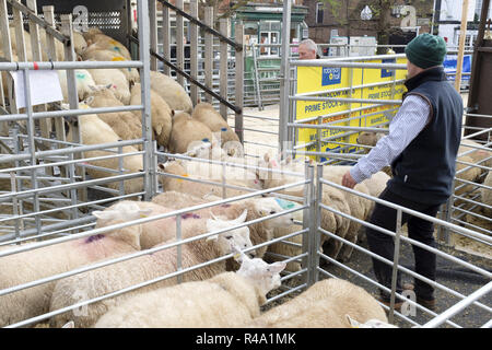 Winslow, UK - November 26, 2018. Sheep are loaded into a truck after being sold by auction at the Winslow Primestock Show. The show is an annual event held in the historic market town in Buckinghamshire. Credit: Paul Maguire/Alamy Live News - Stock Photo