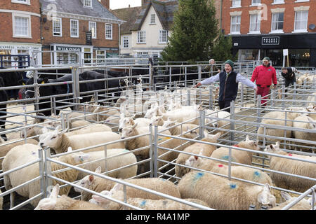 Winslow, UK - November 26, 2018. Sheep are herded toward away after being sold by auction at the Winslow Primestock Show. The show is an annual event held in the historic market town in Buckinghamshire. Credit: Paul Maguire/Alamy Live News - Stock Photo