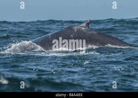 A humpback whale briefly surfaces in the Farallon islands national marine sanctuary off the coast of San Francisco. - Stock Photo