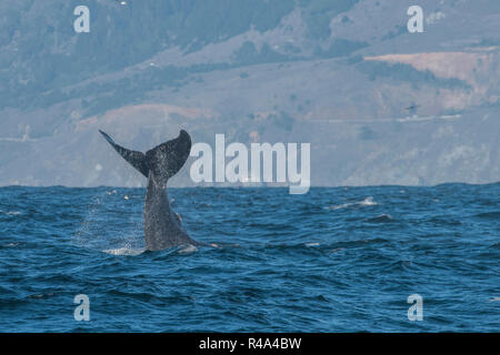 A humpback whale engaging in tail slapping behavior or lobtailing, a form of communication, off the coast of California. - Stock Photo
