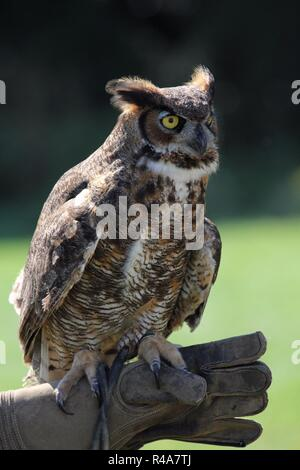 Great Horned Owl - Stock Photo