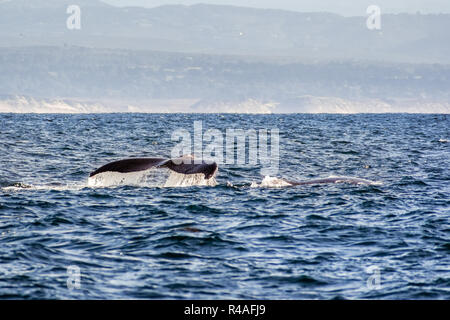 The tail of a humpback whale raised above the water level, Monterey bay, California - Stock Photo