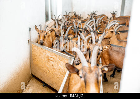 Goat herd of alpine breed before the milking process at the farm
