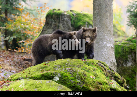 Eurasian brown bear, youngs in autumn, Bavarian Forest National Park, Germany, Europe, (Ursus arctos arctos) - Stock Photo