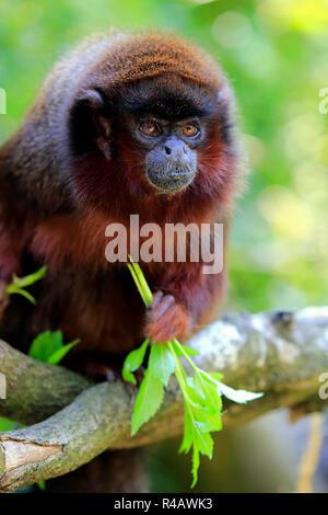 Red titi monkey, adult, South America, (Callicebus cupreus) - Stock Photo