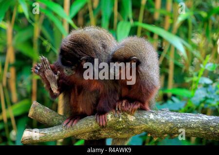 Dusky titi monkey, adult with subadult, South America, (Callicebus cupreus) - Stock Photo